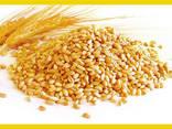 Le blé - photo 1